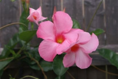 Plant of the Week: Mandevilla